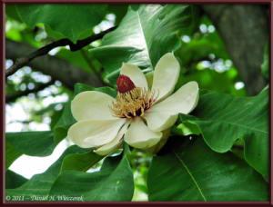 May14_07_JindaiBG_MagnoliaRC