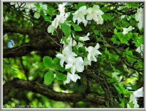 May15_09_MitakeOhtake_Rhododendron_quinquefoliumRC
