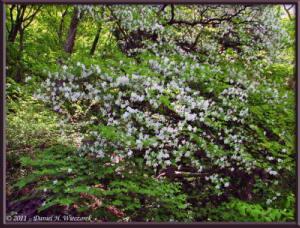 May15_12_MitakeOhtake_Rhododendron_quinquefoliumRC