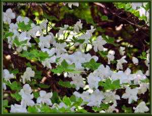 May15_15_MitakeOhtake_Rhododendron_quinquefoliumRC