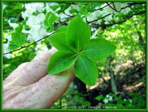 May15_44_MitakeOhtake_Rhododendron_quinquefoliumRC