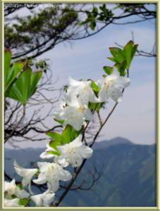 May15_52_MitakeOhtake_Rhododendron_quinquefoliumRC
