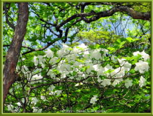 May15_56_MitakeOhtake_Rhododendron_quinquefoliumRC