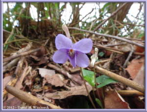 May04_04_Sabaneyama_Viola_rostrata_RC