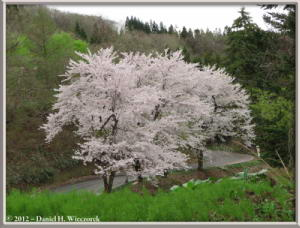 May04_117_Sabaneyama_CherryBlossoms_RC