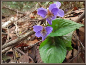 May04_129_Sabaneyama_Viola_vaginata_RC
