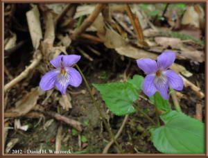 May04_142_Sabaneyama_Viola_vaginata_RC