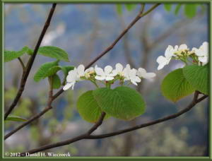 May04_26_Sabaneyama_Viburnum_sp_RC