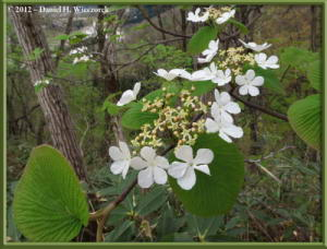 May04_30_Sabaneyama_Viburnum_sp_RC