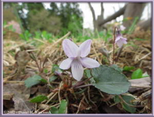 May04_64_Sabaneyama_Viola_fauriaeana_RC