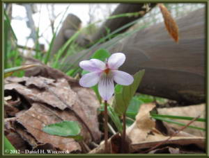 May04_71_Sabaneyama_Viola_fauriaeana_RC