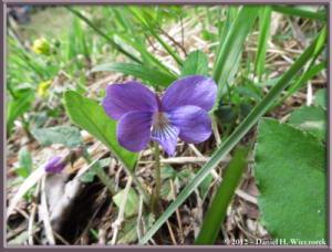 May11_75_ItsukaichiArea_Viola_hirtipes_RC