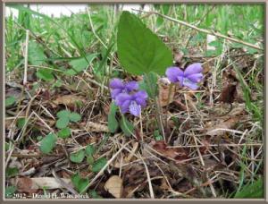May11_85_ItsukaichiArea_Viola_hirtipes_RC