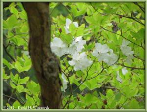 May12_24_OkunoinPeak_Rhododendron_quinquefolium_RC