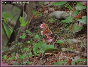 May12_47_MtOhtake_Schizocodon_ilichifolious_f_purpureiflorus_RC