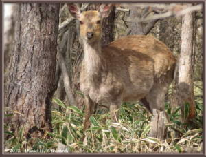 May_19_120_DescendingMtKesamaru_Deer_RC