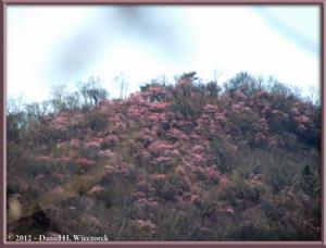 May_19_35BC_ClimbingMtMaeKesamaruAzalea_RC
