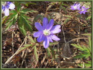 May05_051_Sabaneyama_Anemone_pseudoaltaicaRC