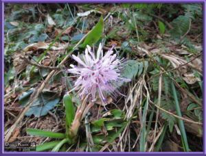 May05_064_Sabaneyama_Heloniopsis_orientalisRC