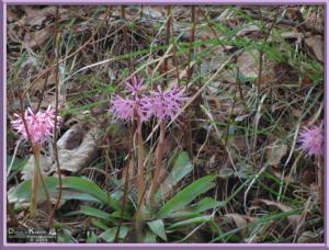 May05_065_Sabaneyama_Heloniopsis_orientalisRC