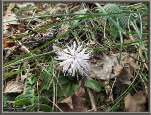 May05_081_Sabaneyama_Heloniopsis_orientalisRC