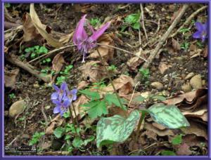 May05_103_Sabaneyama_Erythronium_japonicum_Viola_vaginataRC