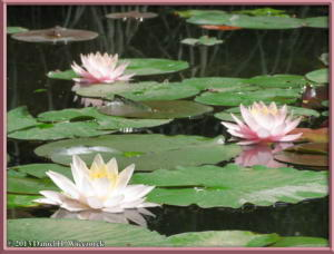 May25_04_JindaiBG_WaterLilyRC