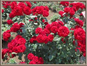 May25_24_JindaiBG_RoseGardenRC