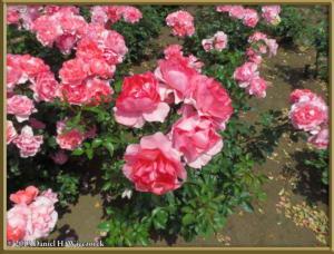 May25_29_JindaiBG_RoseGardenRC