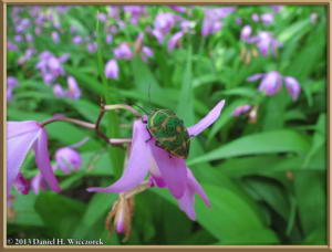 May25_40_JindaiBG_Bletilla_striataRC
