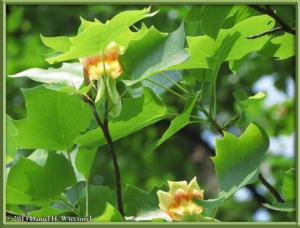 May25_55_JindaiBG_Liriodendron_tulipiferaRC