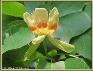 May25_58_JindaiBG_Liriodendron_tulipiferaRC