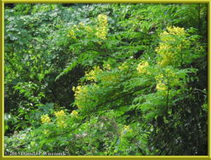 May26_13_MtTakao_YellowFlowerTreeRC