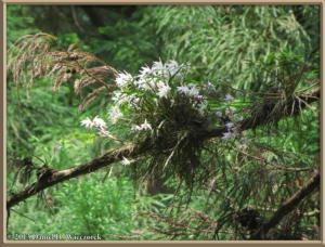 May26_18_MtTakao_Dendrobium_moniliformeRC