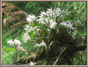 May26_19_MtTakao_Dendrobium_moniliformeRC