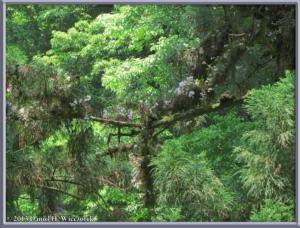 May26_36_MtTakao_Dendrobium_moniliformeRC
