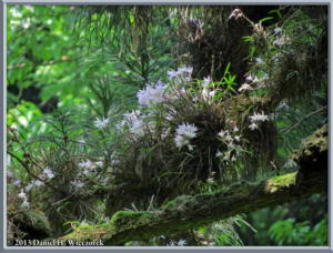 May26_37_MtTakao_Dendrobium_moniliformeRC