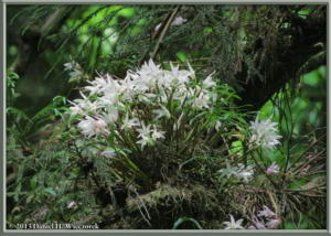 May26_43_MtTakao_Dendrobium_moniliformeRC