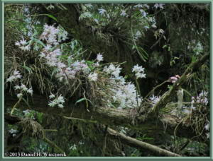 May26_45_MtTakao_Dendrobium_moniliformeRC