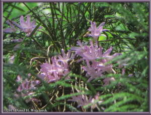 May26_52_MtTakao_Dendrobium_moniliformeRC