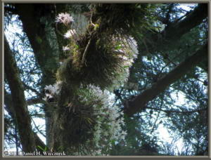 May26_63_MtTakao_Dendrobium_moniliformeRC
