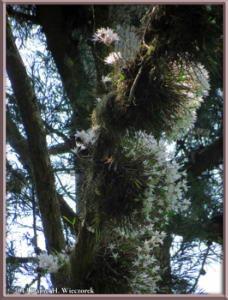 May26_64_MtTakao_Dendrobium_moniliformeRC