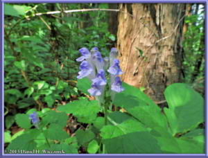 May26_84_MtTakao_SmallBlueFlowerPlantRC