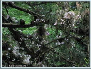 May26th_058_MtTakao_DendrobiumMoniliformeRC