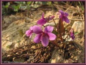 May5th_Funagata186_ViolaViolaceaVarMakinoiRC