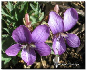 April29th_MtMakiyose018Part_ViolaPhalacrocarpaXViolaChaerophylloidesFSieboldianaRC