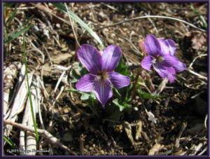 April29th_MtMakiyose032_ViolaPhalacrocarpaXViolaChaerophylloidesFSieboldianaRC