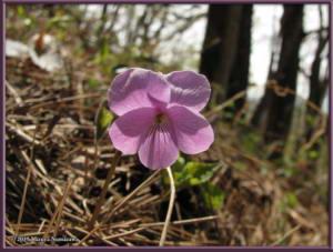 April29th_MtMakiyose071_ViolaRossiiRC