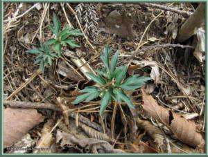 April29th_MtMakiyose078_ViolaChaerophylloidesFSieboldianaXViolaEizanensisRC
