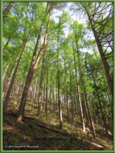 May02_05_MtKurodake_ForestSceneryRC